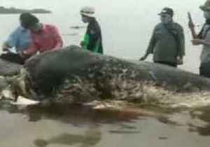 Dead Whale Found in Indonesia With 35 Pounds of Plastic in Its Stomach [Video]
