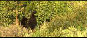 Incredible footage of black bear saving her cubs from male in Yellowstone [Video]