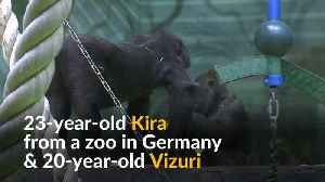Moscow zoo welcomes rare Western lowland baby gorilla [Video]