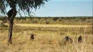Orphaned baboons enjoy free time in the wild [Video]