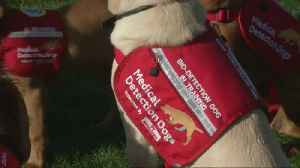 Dogs Being Trained To Sniff Out Malaria [Video]