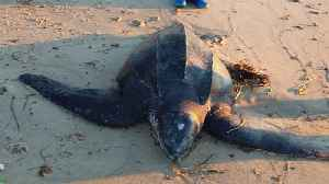 Over 170 Sea Turtles Die From Extreme Cold Off Massachusetts Coast [Video]
