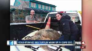 Cold-stunned sea turtles wash up in Cape Cod [Video]