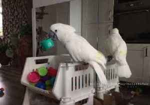 High-Energy Cockatoo Goes on 'Cup Rampage' in Owner's House [Video]