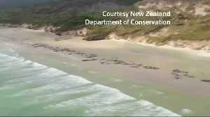 Up to 145 whales die after mass standing in New Zealand [Video]