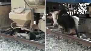 Bull is totally fine after getting run over by a train in India [Video]