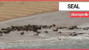 This shocking footage shows a stampede of seal [Video]