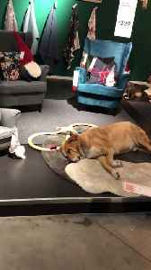Furniture Store Sets Up Living Area for Stray Dogs [Video]