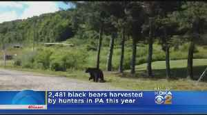 Pennsylvania Hunters Harvested More Than 2,400 Bears This Year [Video]