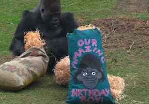 Yakini the Gorilla Spoiled With Treats on 19th Birthday [Video]