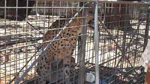 News video: Cooling down a wild cheetah waiting to get collared