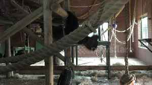 This gorilla can perform more pull-ups than you [Video]