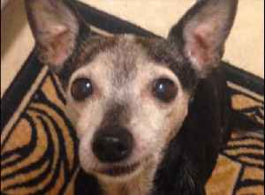 Senior Chihuahua impressively learns new trick [Video]