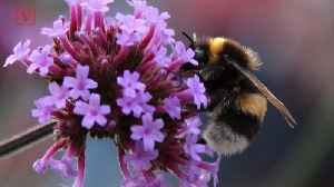 Wild Bees are in Decline, The Ecosystem Could Follow [Video]