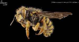 Scientists Discover a Bee with Two Fathers and No Mother [Video]