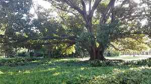 86 Year Old Fig Tree Cracks and Collapses [Video]