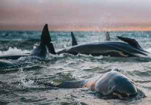 'Worst Night of My Life:' Hiker Finds Over 100 Beached Whales on Isolated Rakiura Beach [Video]