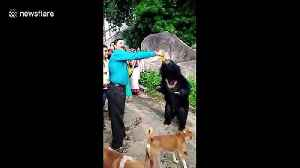 Wild bear loves to guzzle mango soft drink at Indian temple [Video]