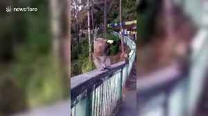 Monkey downs bottle of beer in India [Video]