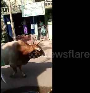 Whopper bull casually knocks passenger off moving motor scooter [Video]