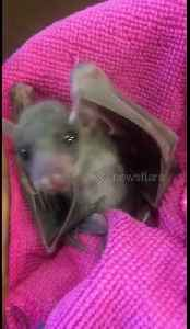 Too cute! Orphaned baby fruit bat wakes up [Video]