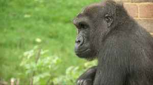 'Cheating' gorillas show clever puzzle-solving [Video]