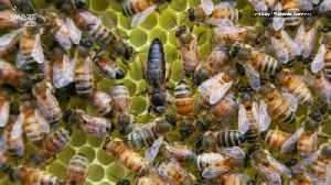 Honeybee Workers Revolt and Lay Eggs When Queen Bee is Away [Video]