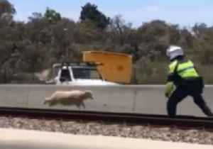 Stray Sheep Shot  After Causing Huge Disruptions to Traffic Near Perth [Video]