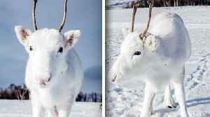 Rare White Reindeer Calf Poses for Photographer in Norway [Video]