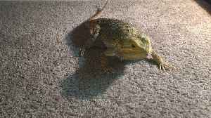 Bearded Dragon chases laser pointer like a cat [Video]