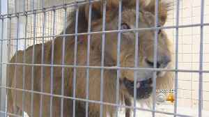 Lion, Tiger Find New Home In Colorado After Typhoon [Video]