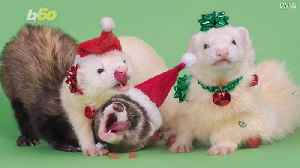 Meet Moose, Newt and Albert! The Festive Ferrets Flaunting Holiday Fashion For Their Own Calendar [Video]