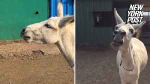 Singing donkey hits all the right notes [Video]