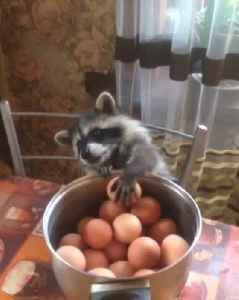 Raccoon's Paws are Too Tiny for Eggs [Video]