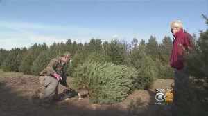 Local Christmas Tree Farms Hurt By Big Box, Chain Stores [Video]