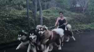 Trying to walk a pack of Alaskan Malamutes is no easy task! [Video]