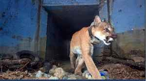Mountain Lion Killed By California Wildfire [Video]