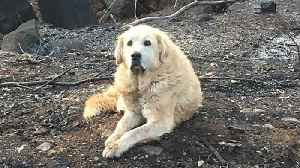 Dog that survived catastrophic California wildfire guarded home for weeks [Video]