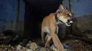 News video: Mountain Lion Known For Crossing California Highway Found Dead After Woolsey Fire