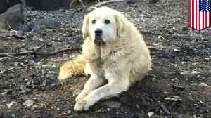 Dog survives wildfire, guards burned down home for a month [Video]