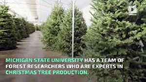 The Science Behind Growing a Perfect Christmas Tree [Video]