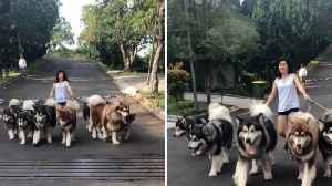 Roadblock – Woman blocks entire street walking a few of her dogs [Video]