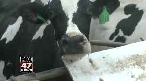 MSU offers up cows as therapy for stressed out students [Video]