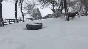 News video: Horses Frolic and Play in the Snow