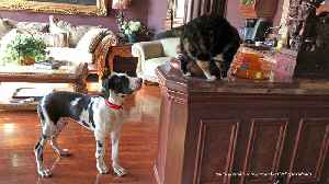 Curious cats amused by bouncing Great Dane puppy [Video]