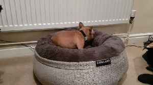 Frenchie puppy introduced to new bed, absolutely loves it [Video]