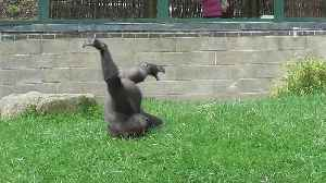 Goofy gorilla youngster lets loose for the weekend [Video]