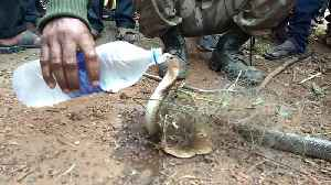 Snake catcher saves trapped cobra that thankfully gulps down cold water [Video]