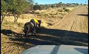 Travelling friends find man sleeping on horse next to road [Video]