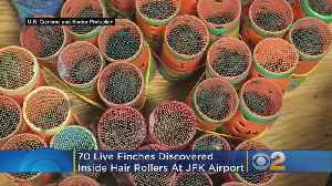 Customs Agents Find 70 Finches Hidden Inside Hair Rollers At JFK Airport [Video]